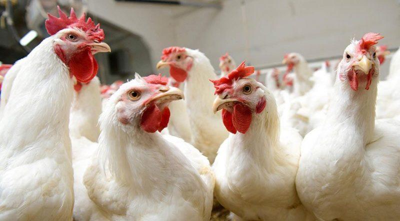 tavuk-çiftliği-kredi-hibe