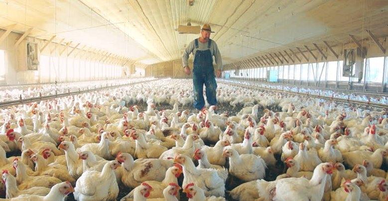 Tavuk Çiftliği Projesi Kurmak