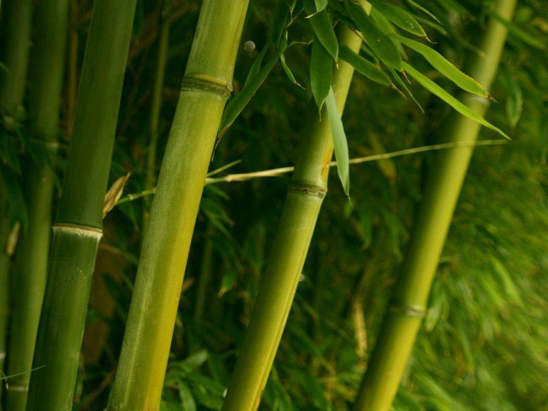 Çin Bambusu
