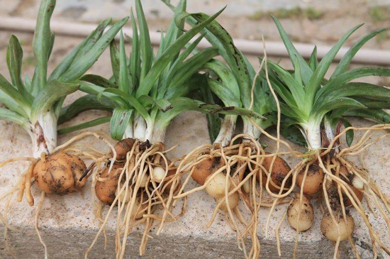 Salep Tohumu Yetiştiriciliği ve Yumrusu Üretimi