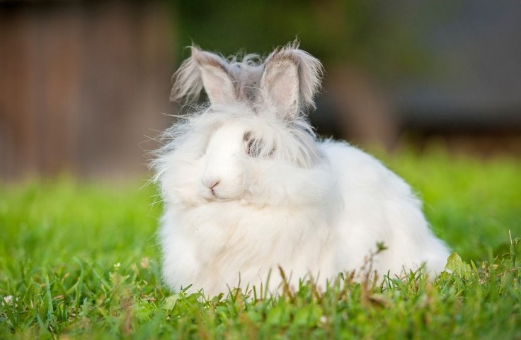 angora tavşan