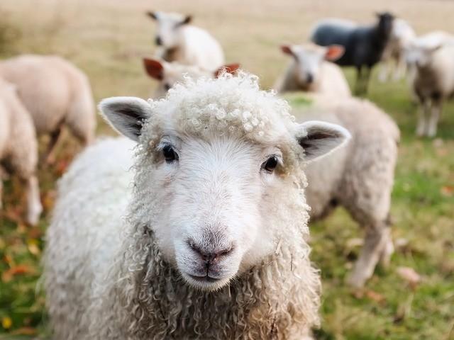 koyun çiftlik