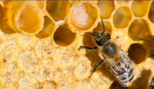 arı sütü yetiştiriciliği