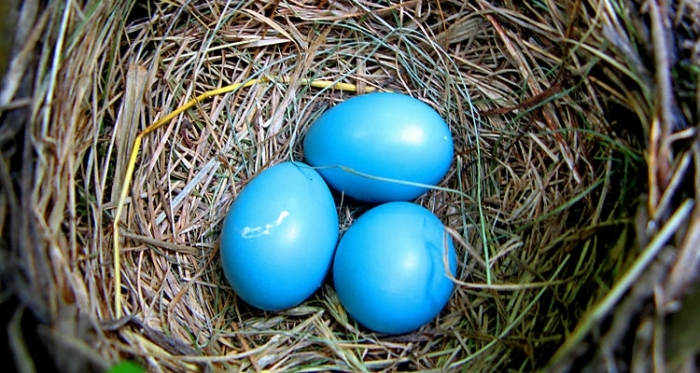 mavi yumurtalar